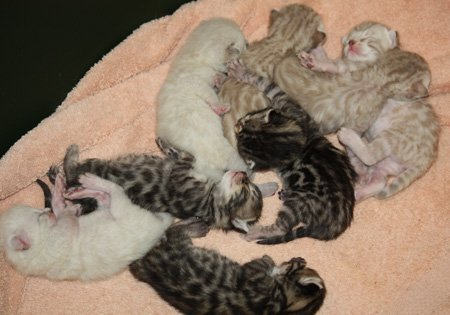 snow bengal, charcoal snow bengal, seal lynx point bengal, mink bengal, sepia bengal, seal lynx point snow bengal, mink snow bengal, seal lynx point charcoal bengal, mink charcoal bengal, SLP bengal, snow kittens, snow bengal kittens, Bengal kittens for sale, Bengal kittens for sale Florida