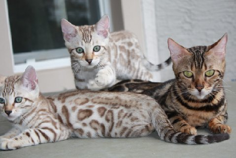 Seal Lynx Point, snow leopard bengal kittens in FL snow leopard bengal kittens for sale seal Lynx Mink Sepia charcoal snow charcoal seal lynx point charcoal mink charcoal bengal snow bengal